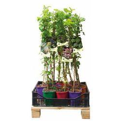 Pnącza miododajne - zestaw 10 roślin CLEMATIS
