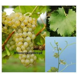 Sadzonka winorośli Sauvignon Kretos® rabat 8%