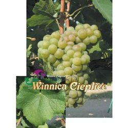 Sadzonka winorośli PinotBlanc