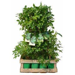 Zielony płot 12 mb - zestaw 12 roślin CLEMATIS