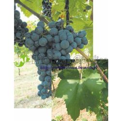 Sadzonka winorośli Cabernet Franc