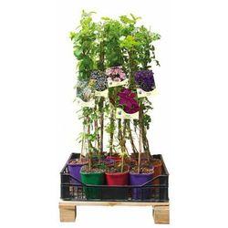 Kolorowy płot 6 mb - 10 roślin zestaw nr 2 CLEMATIS