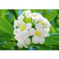 Fototapety, Fototapeta Frangipani Blossoms, Kuramathi Island 286